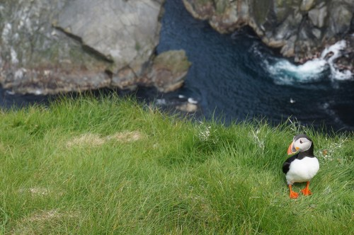 A puffin off the coast off Norway. They can swim underwater and often live in cold climates. (Source: Emily Wilson)