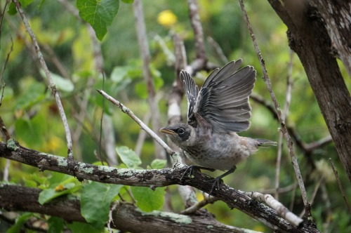 A young mockingbird on the Galapagos Islands