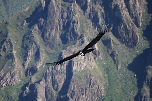 An Andean condor soaring in Peru.